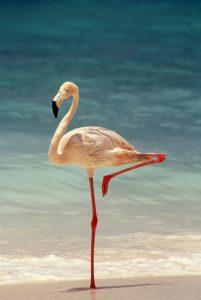 venezuala-flamingo